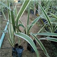 多年生常绿草本植物山管兰 物美价廉厂