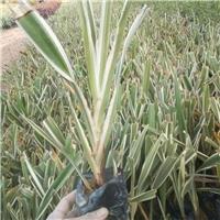 多年生常绿草本植物山管兰 物美价廉