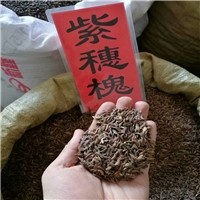 辽宁省紫穗槐种子新货批发