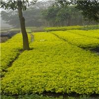 优质常绿地被植物黄金叶 物美价廉黄金叶厂