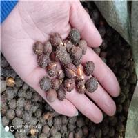 辽宁省榆叶梅种子 小桃红种子新货批发