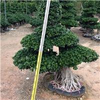 景区名贵风景绿化树造型小叶榕 规格齐全