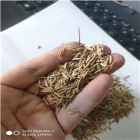 披碱草种子 无芒雀麦种子 波斯菊种子