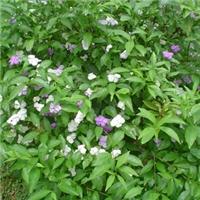 四季常青绿化地被植物鸳鸯茉莉 量大从优