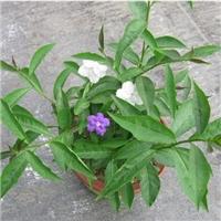 四季常青绿化地被植物鸳鸯茉莉 量大从优厂