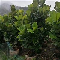 室内净化空气盆栽绿化大叶紫薇琴叶榕厂