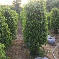 优质常绿盆栽植物垂叶榕 物美价廉垂叶榕