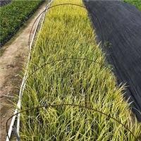 优质水生绿化植物金叶石菖蒲物美价廉