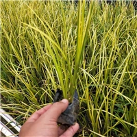 优质水生绿化植物金叶石菖蒲物美价廉厂