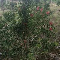 特价供应可盆栽修剪常绿小乔木多花红千层