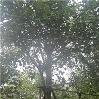 精选树形优美景观树菩提榕 多规格特价供应厂