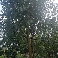 精选树形优美景观树菩提榕 多规格特价供应