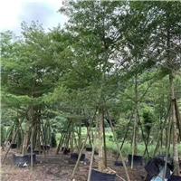 海岸行道绿化风景树小叶榄仁 价格实惠厂