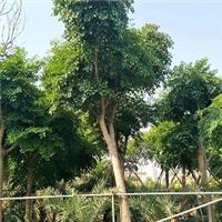 直销供应高度可达30米景观树幌伞枫厂