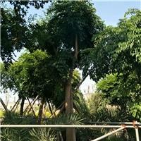 直销供应高度可达30米景观树幌伞枫
