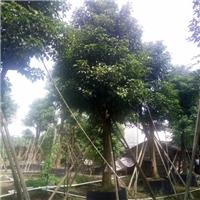 树形优美精品绿化树秋枫 多规格特价供应厂
