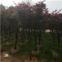 景区特色落叶风景树红枫 红枫规格齐全