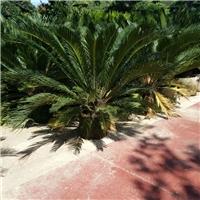 大型盆栽观赏植物苏铁 物美价廉苏铁厂