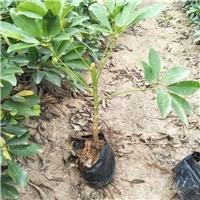优质观叶盆栽绿化植物鸭脚木 量大从优