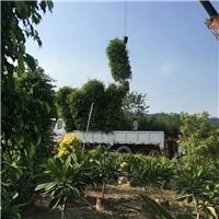 盆栽地栽观赏型绿化树垂叶榕 多规格供应
