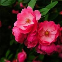 固安蔷薇销售基地(林茂)