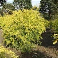 园林小区盆栽造景植物树千层金 量大从优