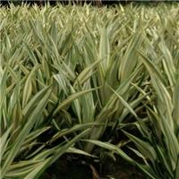 易种植绿化地被植物万年麻 万年麻价格厂