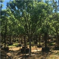 精品行道绿化树香樟 基地多规格特价供应厂
