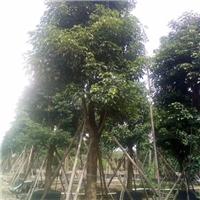精品半常绿风景绿化树秋枫特价供应