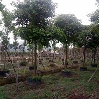 精品半常绿风景绿化树秋枫特价供应厂