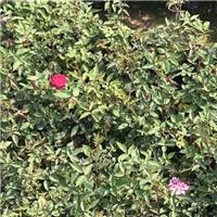 园林常用绿化植物丰花月季 丰花月季价格厂