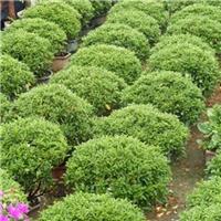 可盆栽耐修剪造景绿化树非洲茉莉球厂