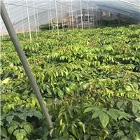 盆栽净化空气绿植绿宝 物美价廉绿宝