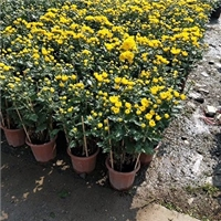 园林常用绿化用盆栽摆放观赏花卉万寿菊厂