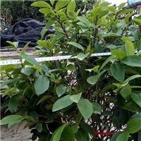 精选净化空气绿化灌木含笑 物美价廉含笑厂