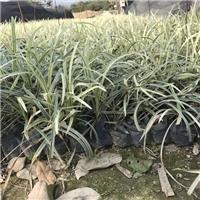 优质常绿地被绿化植物金边沿阶草大量供应厂