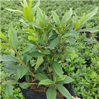 优质半常绿丛生灌木毛杜鹃基地大量供应
