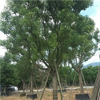 精选常绿乔木香樟 漳州基地多规格供应