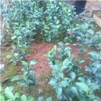 100多个茶花品种苗