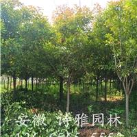 供应高杆红叶石楠,2-10公分高杆石楠价格低