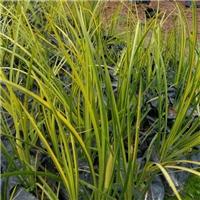 园林常用造景水生地被植物金叶石菖蒲