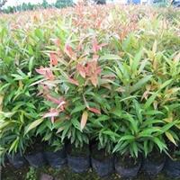绿化常用造景灌木红车 漳州基地常年有售厂