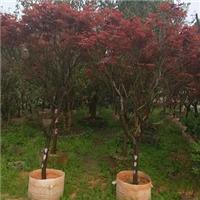 景区行道造景落叶乔木红枫 物美价廉红枫