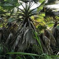 景区造景风景绿化树华棕 华棕价格实惠厂