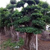 可造型修剪景观树小叶榕 多规格特价供应厂