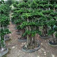 可造型修剪景观树小叶榕 多规格特价供应