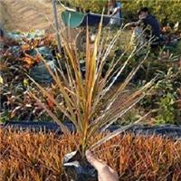 彩叶盆栽观赏植物七彩马尾铁 物美价廉