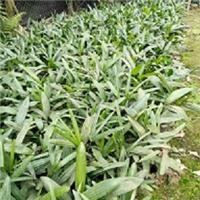 盆栽桌面摆放绿化植物细叶棕竹 大量供应