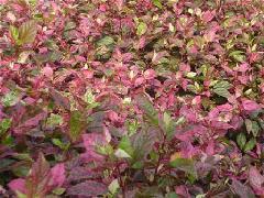 常绿地被灌木彩叶扶桑 彩叶扶桑量大从优厂