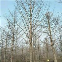 出售银杏树及各种花树13884883288